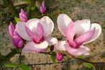 Magnolienblüten