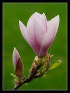Magnolienblüten_1
