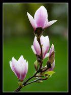Magnolienblüten_2