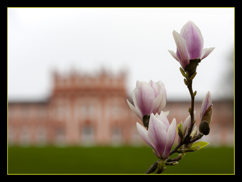 Magnolienblüten_3