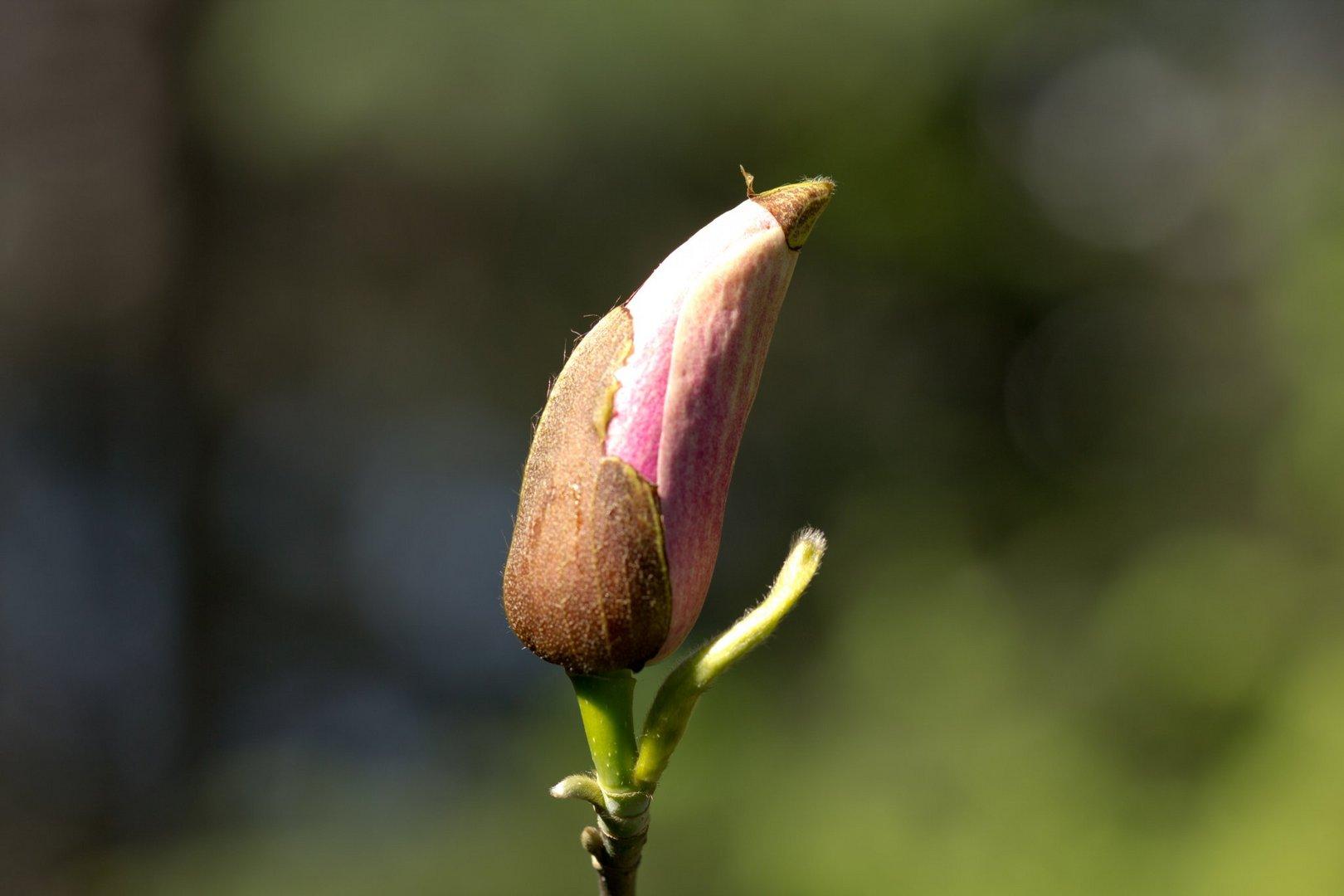 Magnolienblütenknospe vor dem Aufbrechen