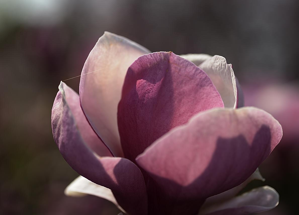 magnolienkelch