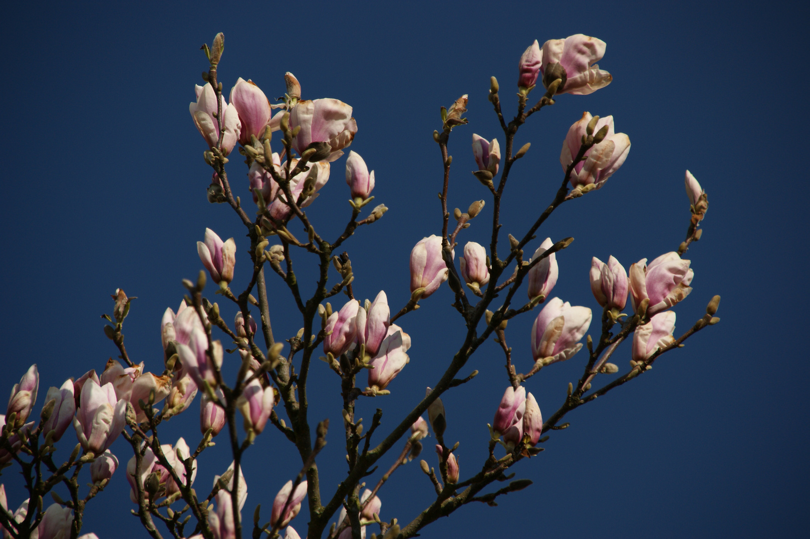 Magnolienpracht