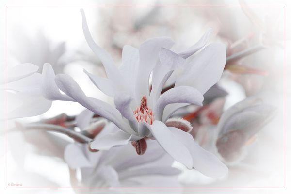 Magnolientraum zum Mittwoch