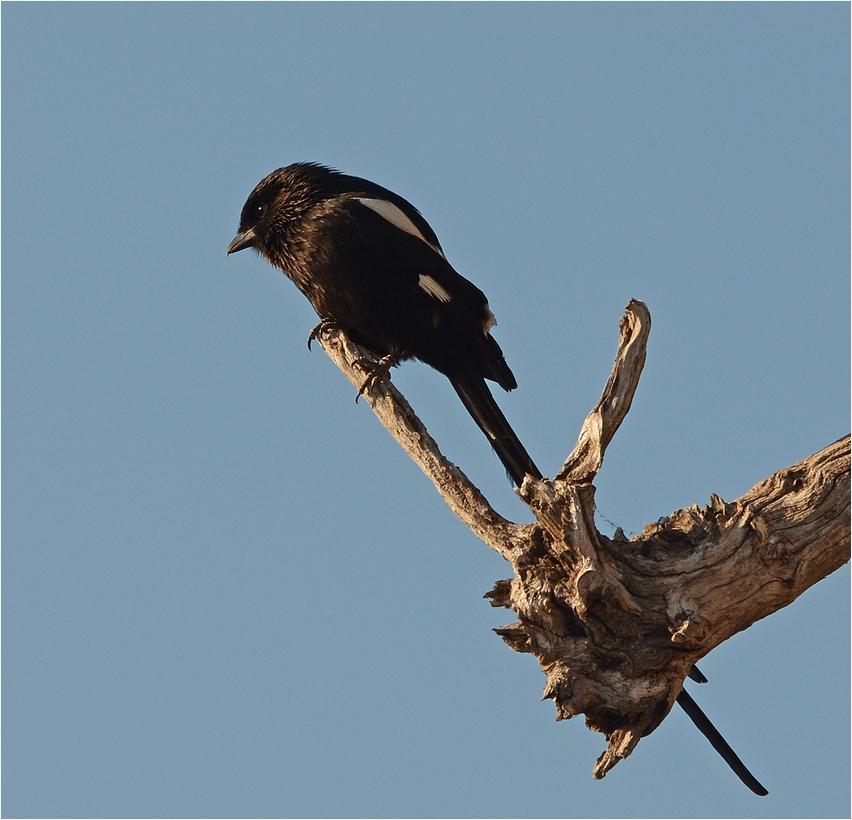 Magpie Shrike ...