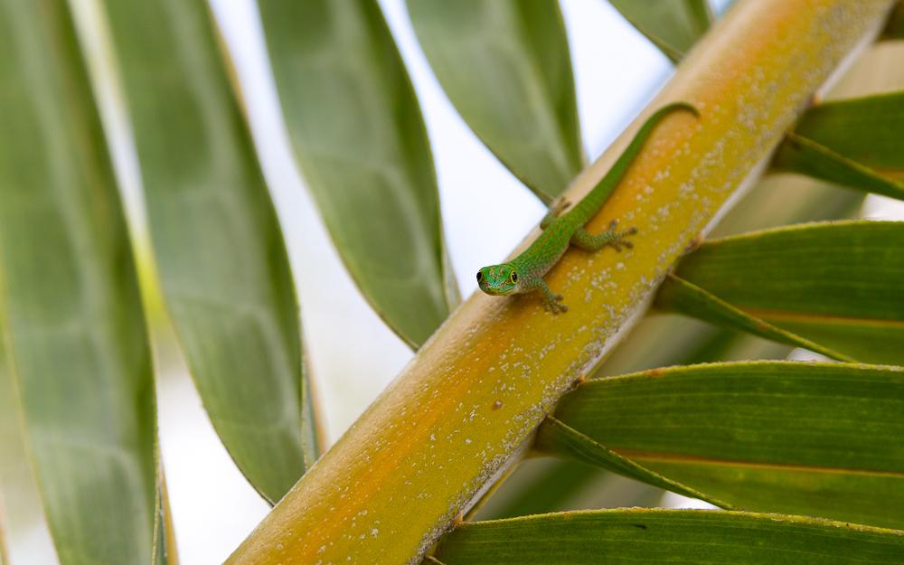 Mahé Day Gecko