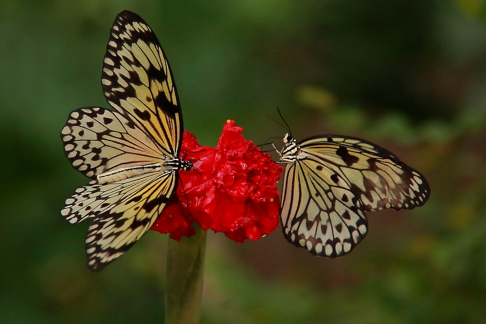 Mahlzeit der Schmetterlinge