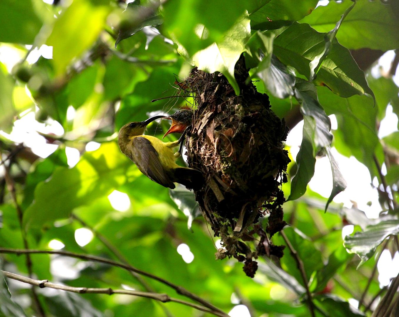 Mahlzeit - Grünrücken-Nektarvogel (nectarinia jugularis)