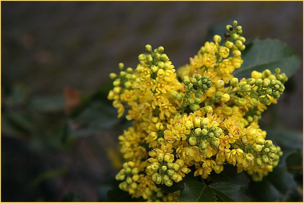 Mahonia aquifolium.