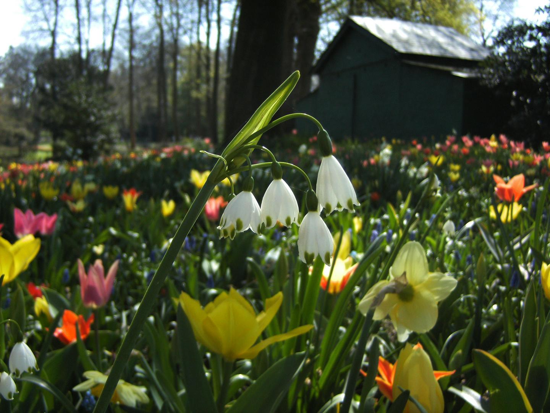 Maiglöckchen im April