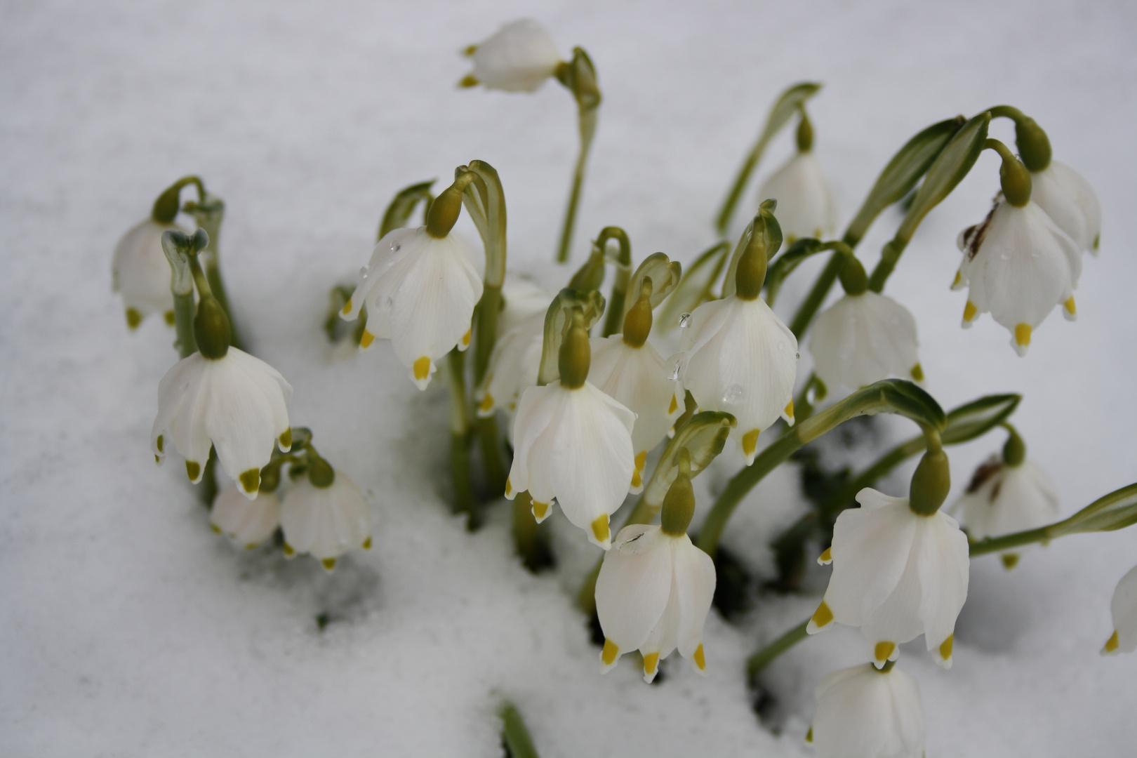 maigl ckchen im schnee foto bild pflanzen pilze. Black Bedroom Furniture Sets. Home Design Ideas