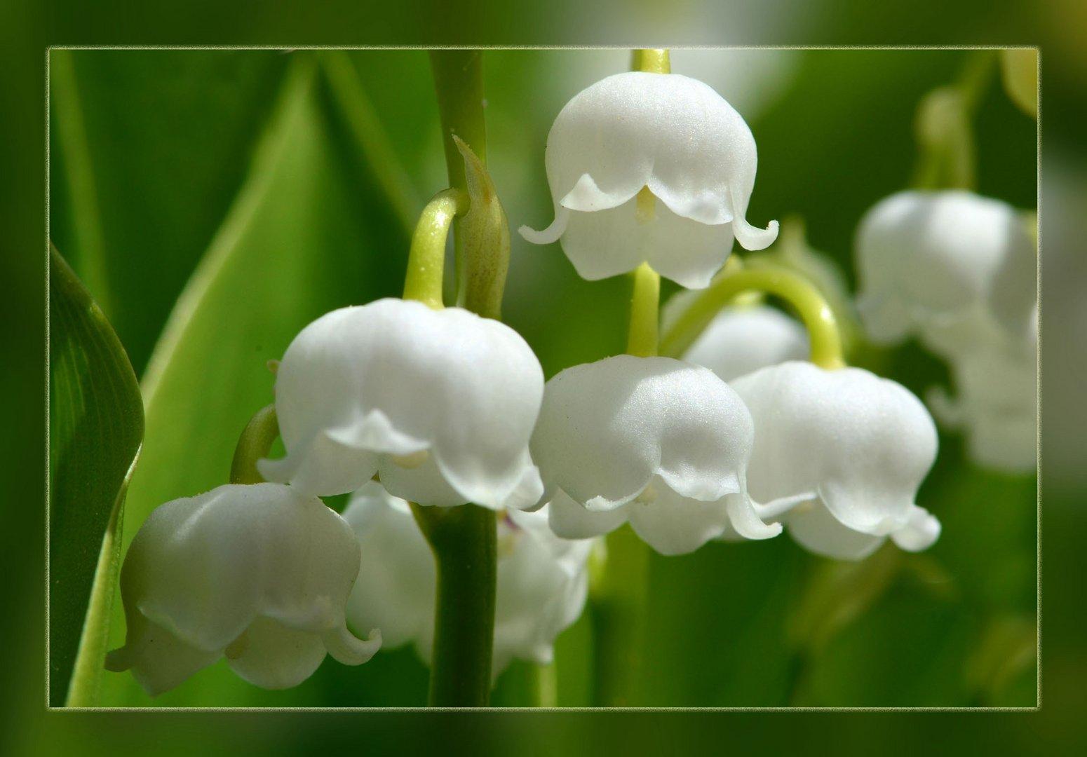 maigl ckchen zum muttertag foto bild pflanzen pilze flechten bl ten kleinpflanzen. Black Bedroom Furniture Sets. Home Design Ideas