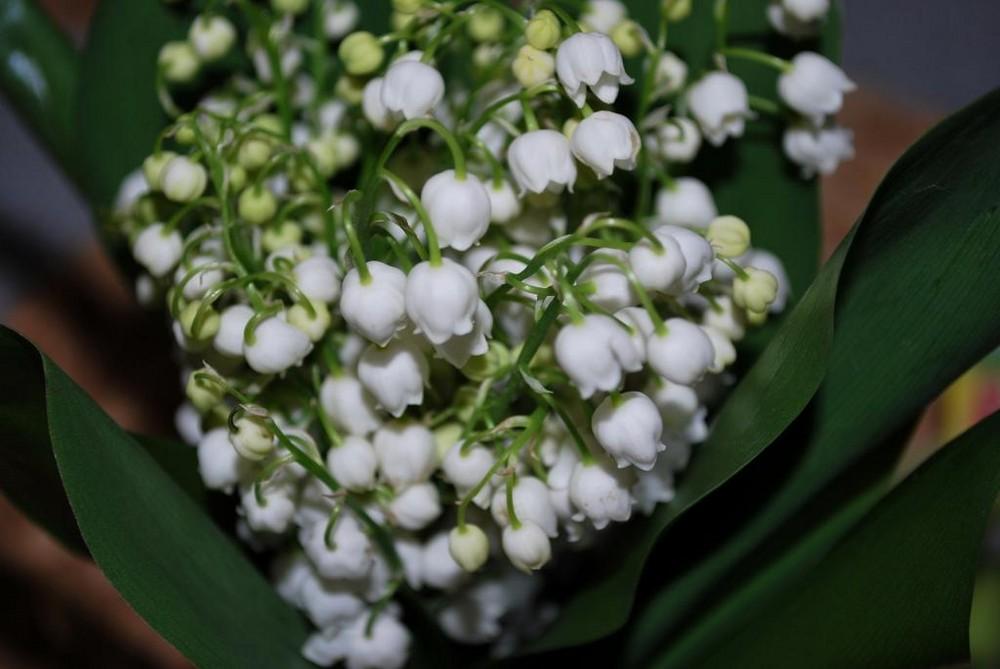 Maiglöckchen.....eine meiner lieblingsblumen