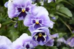 Maigruß in lila