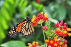 Mainau-Schmetterling