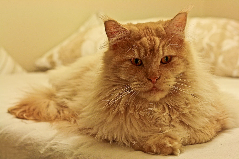 Maine Coon Kater Nemo