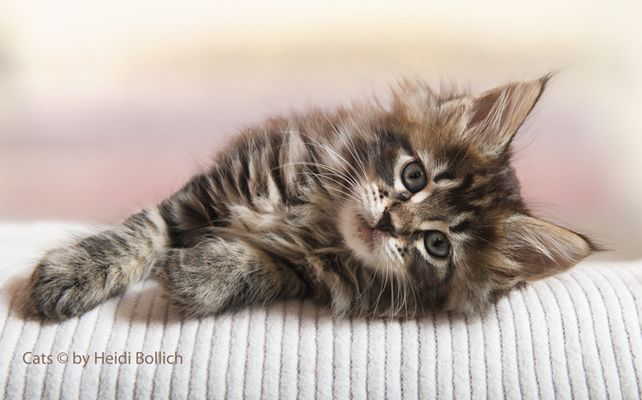 Maine Coon Kitten / 3
