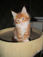 Maine Coon Kitten Murphy