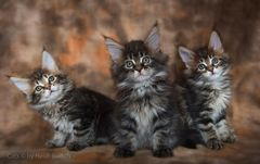 Maine Coon Kittens / 1