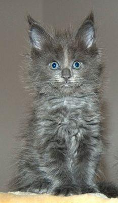 Maine Coon Mädchen blue solid 6,5 Wochen