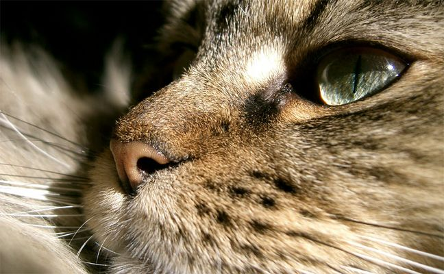 """""""Maine Coon"""" Nase"""