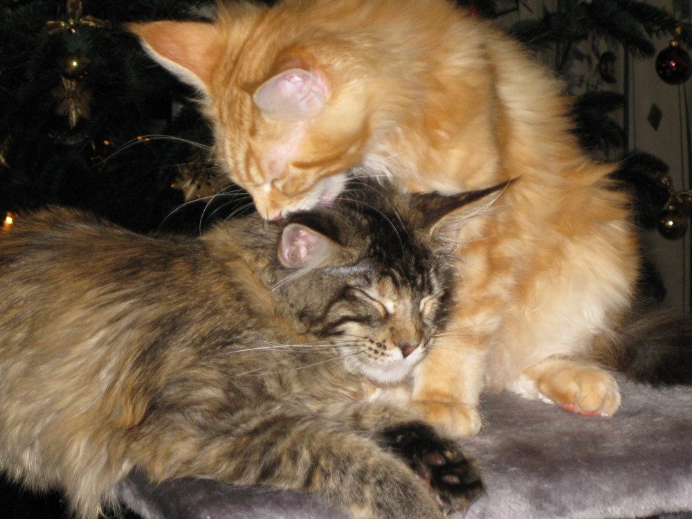 Maine Coon3