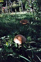 Mais d'où il viennent ces champignons dans le jardin?