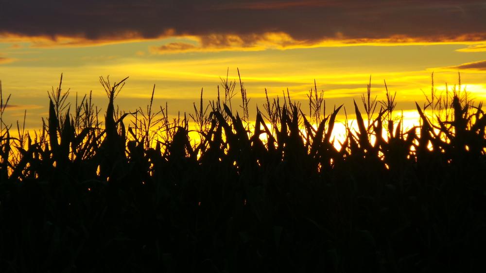 Mais genießt die letzten Sonnenstrahlen vor dem Ernten