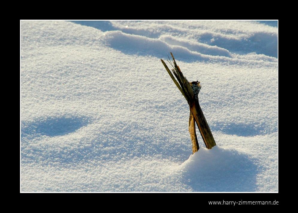 Mais im Schnee