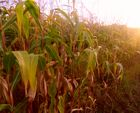Maisfeld bei Sonnenaufgang
