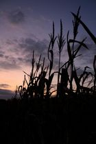 Maisfeld beim Sonnenuntergang