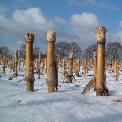 Maisfeld im Winter