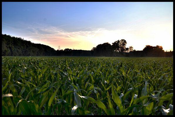 Maisfeld in den Abendstunden