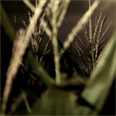 Maisfeld um Mitternacht