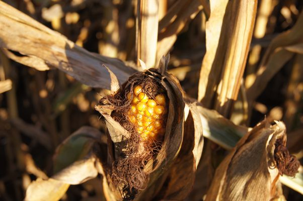 Maiskolben im Herbstlicht