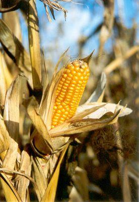 Maiskolben in der Herbstsonne