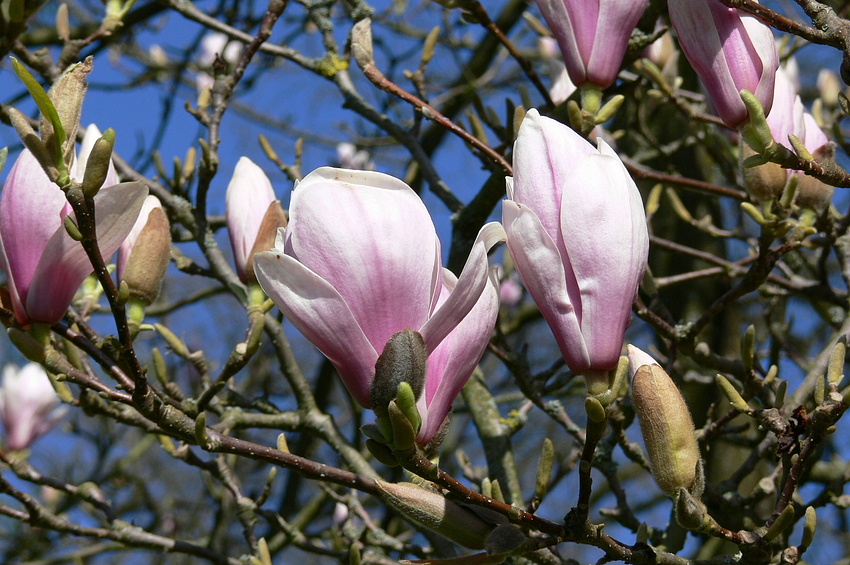 ...majestätische Magnolienblüten...