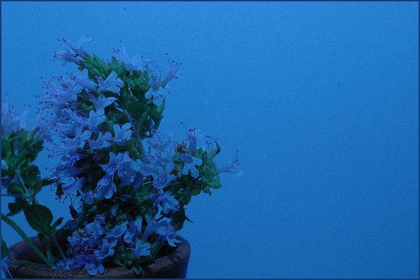 Majoranblüten auf der Fahrt ins Blaue
