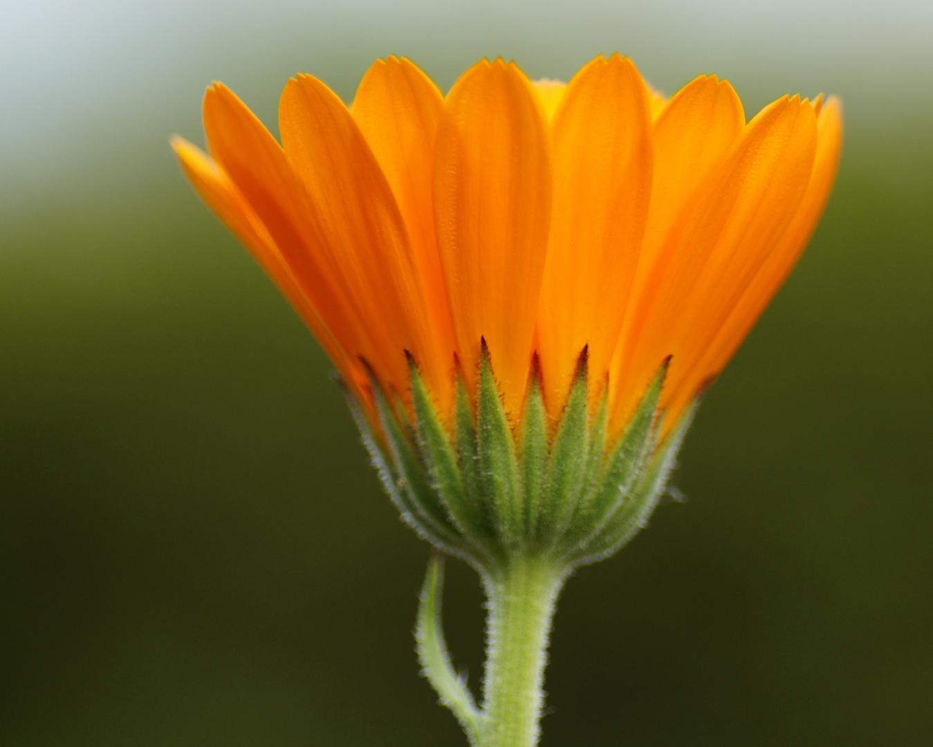 Makellose Blüte