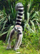 MAKI CATTA (lémurien)