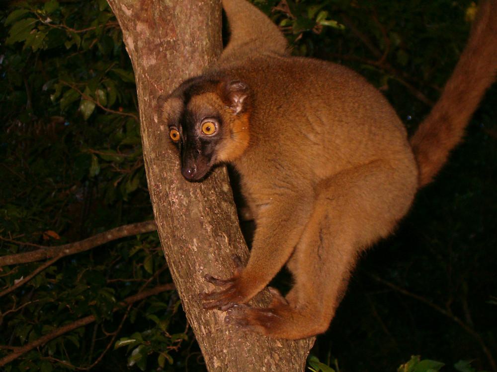 Maki de Mayotte