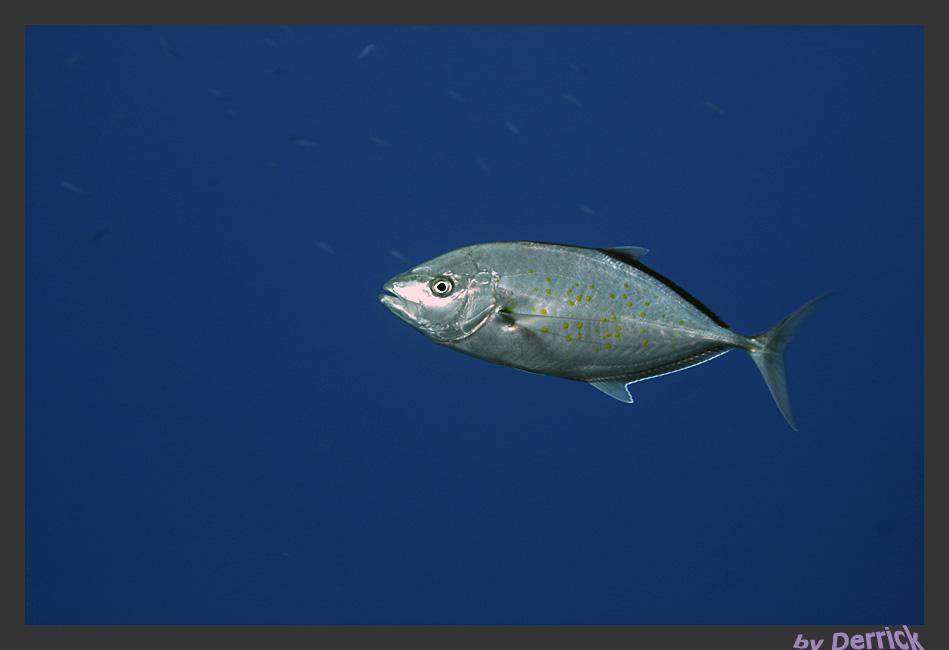 Makrele im Blau...