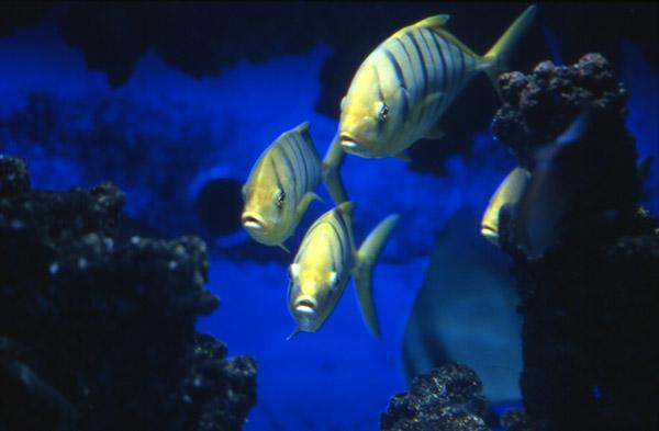 Makrelen im Aquarium