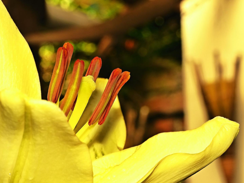 Makro einer gelben Lilie