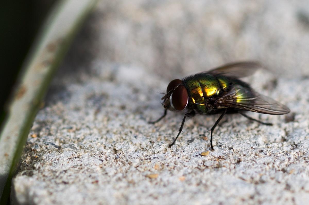 Makro - Fliege