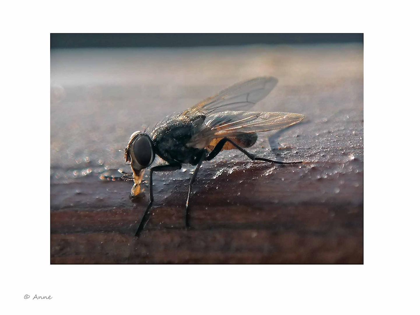 Makro Fliege am Honig