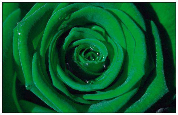 Makro-Rose