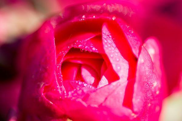 Makro Rose mit Tau