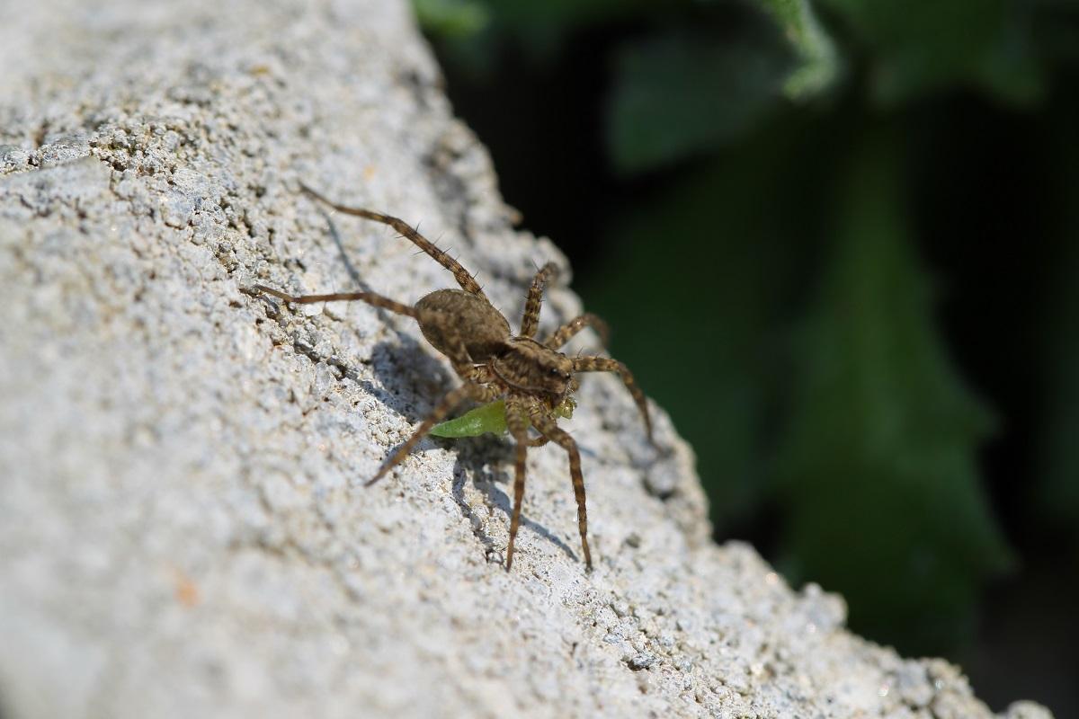 Makro - Spinne mit Beute