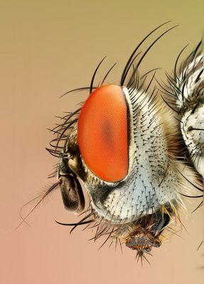 Makro-Stack eines Fliegenkopfes